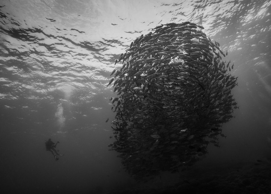 School of Jacks and a Diver at Tubbataha Reef in Philippines