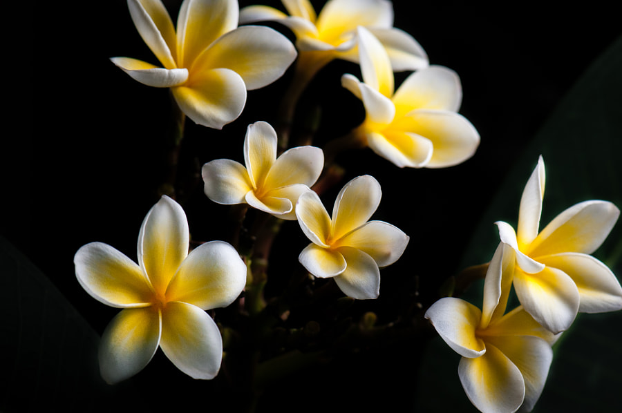 Plumeria rubra by Lincoln Coutinho on 500px.com