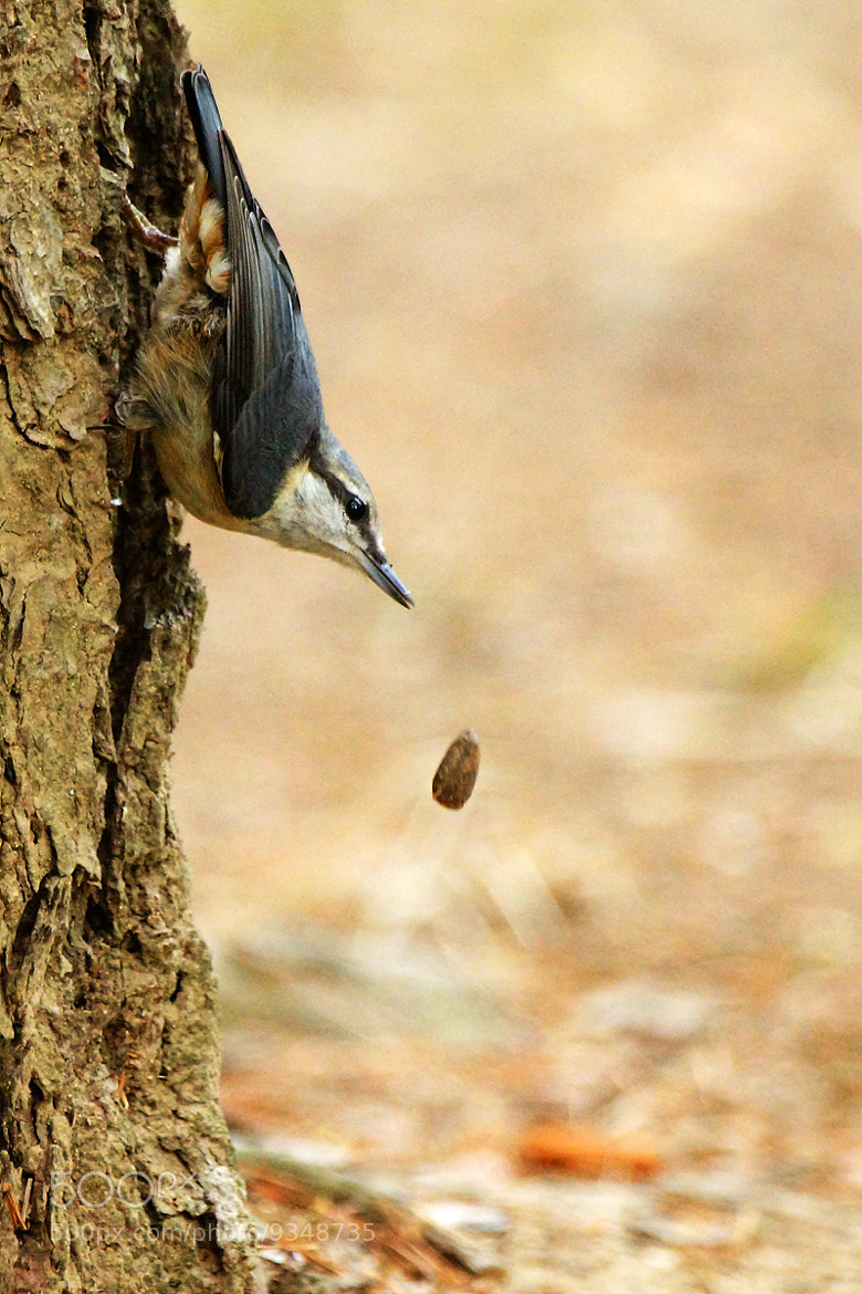 Photograph Eurasian Nuthatch by Young Sung Bae on 500px