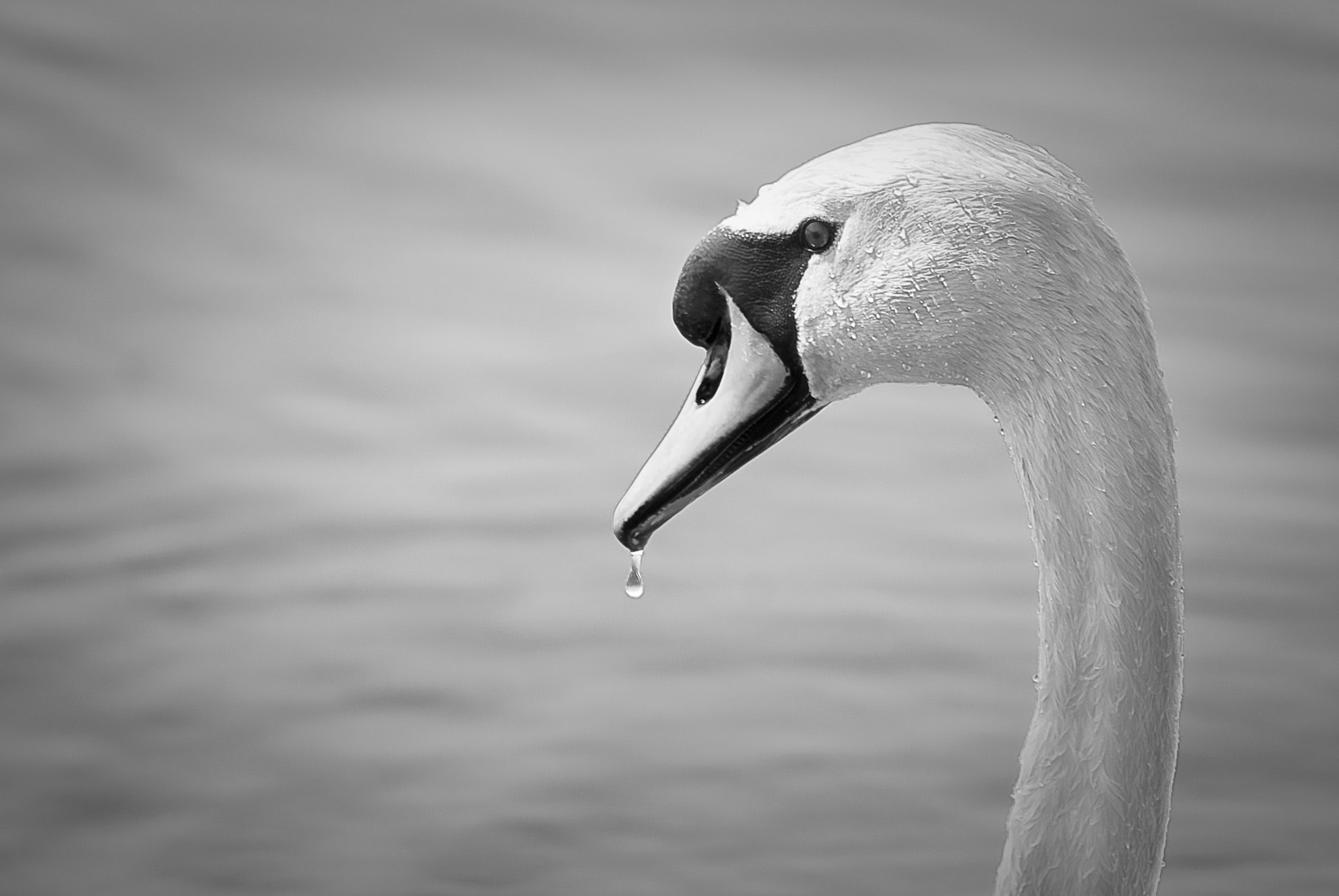 Photograph Swan, elegance. by Josh Spacagna on 500px
