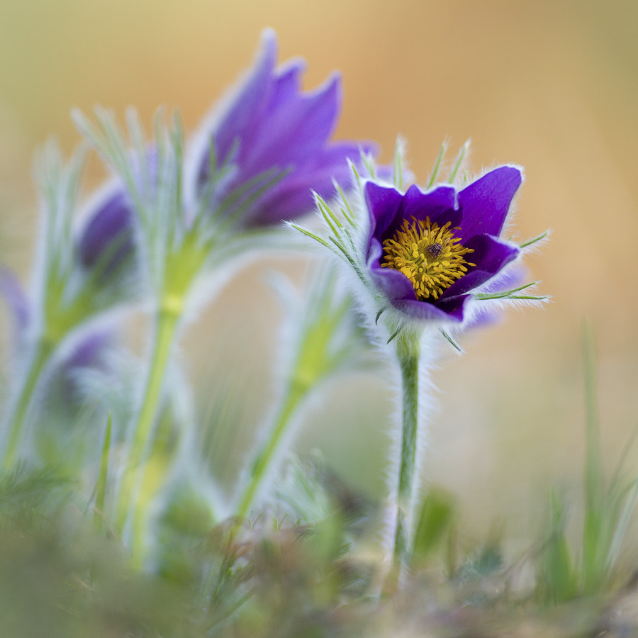 Photograph pulsatilla vulgaris by CHRISTIAN GUERDER on 500px