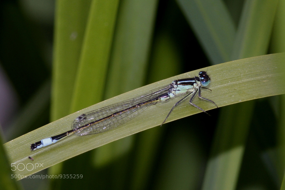 Photograph Blue tailed damselfly by George Warren on 500px