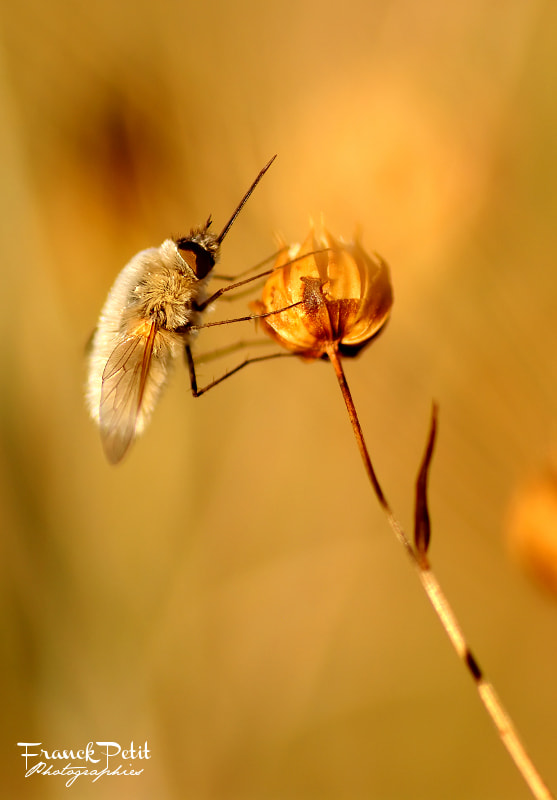 Photograph Bombylou by Franck PETIT on 500px