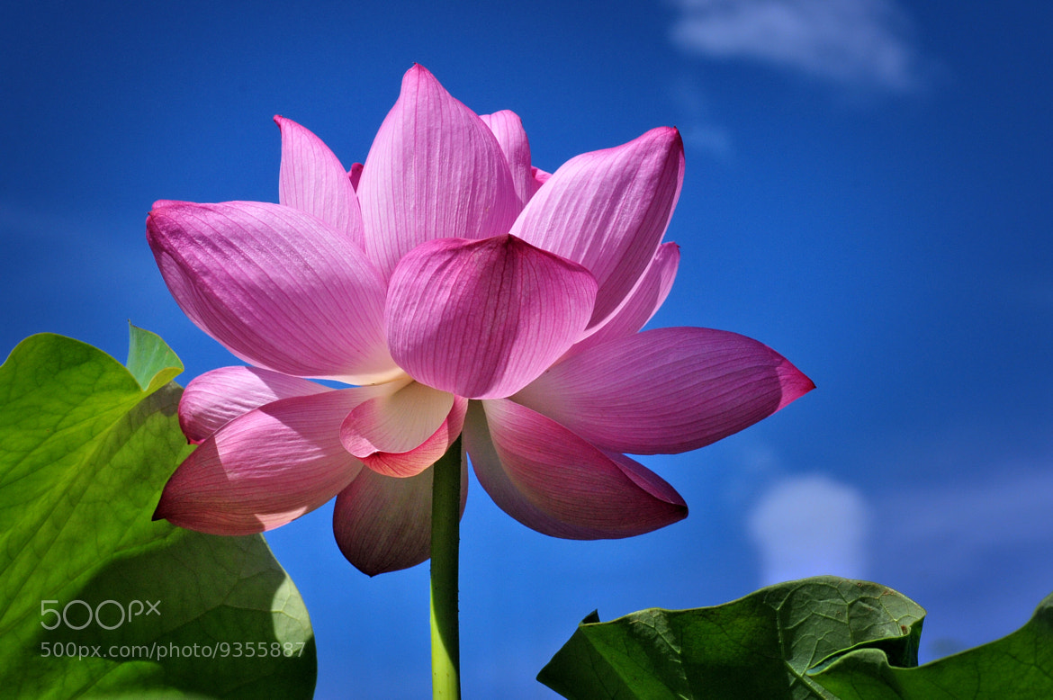 Photograph ★ Lotus of summer -2 by KEN OHSAWA on 500px