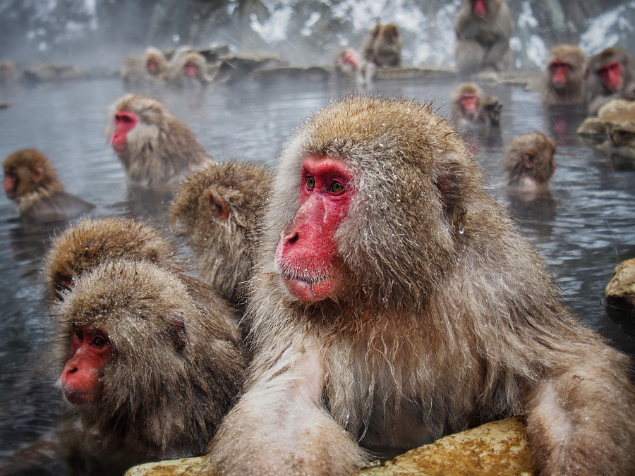 Reasons to visit Asia in the winter: Snow Monkeys! (Photo: James Tucker on 500px.com)