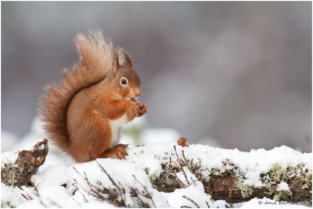 Photograph Red squirrel in the snow by Dave Bartlett on 500px