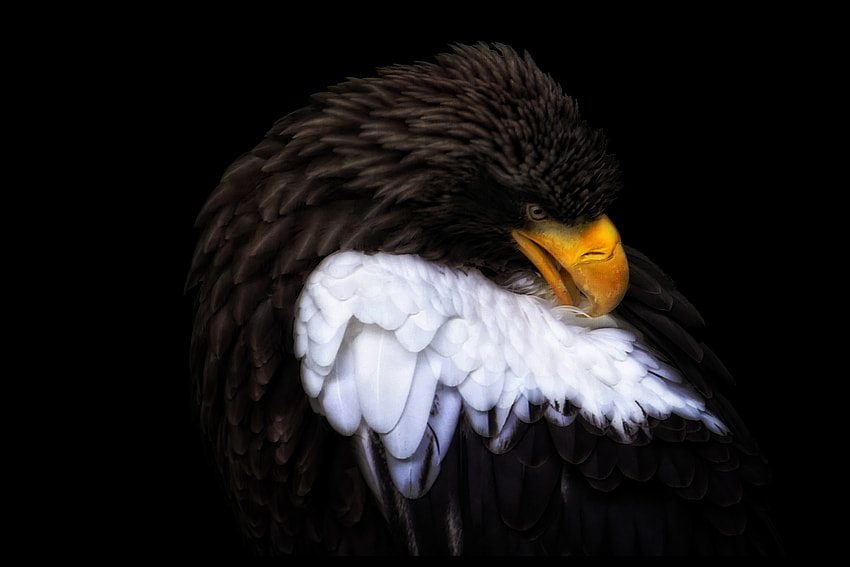 Photograph proud eagle  by Johnny Brambach on 500px