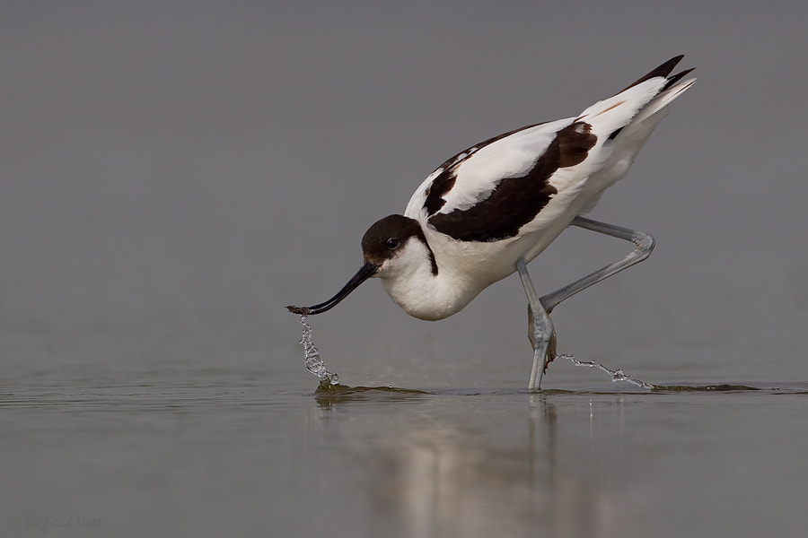 Photograph Wading Avocet by Siegfried Noët on 500px
