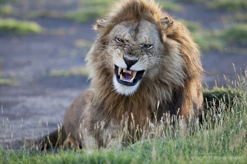Photograph King of the pride by Stephan Brauchli on 500px