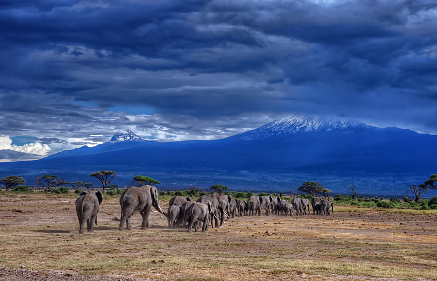 Elephants Head back to the Foothills of Mt. Kilimanjaro by Diana Robinson on 500px.com
