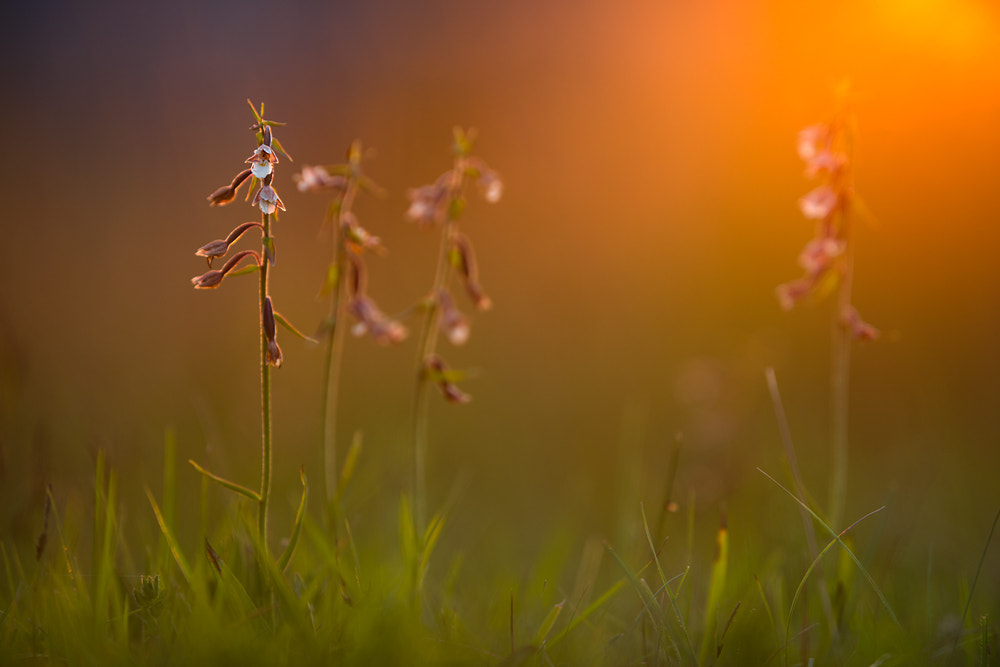 Photograph Epipactis palustris by Stephan Amm on 500px