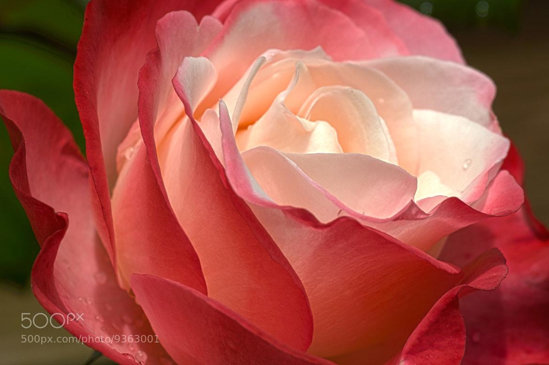 Photograph Rose - Nostalgia by Simon Barrett on 500px