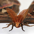 Постер, плакат: giant silkworm moth Attacus atlas