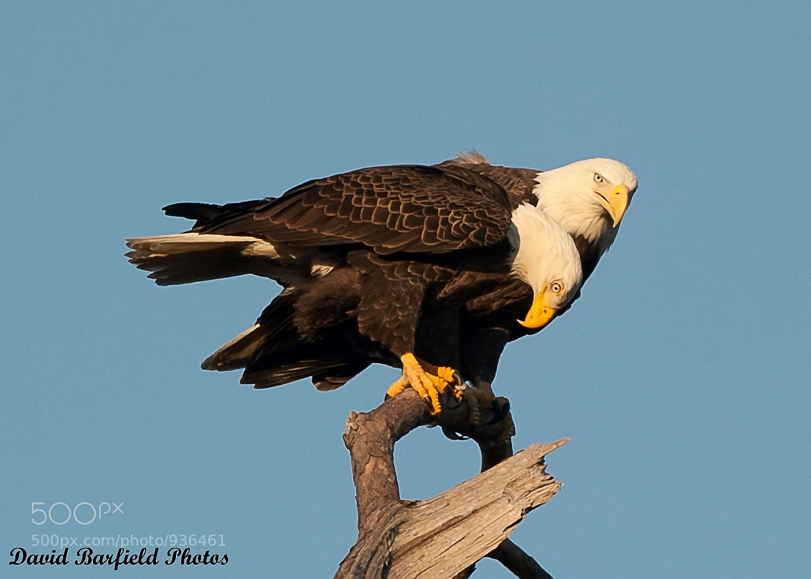 Photograph Baytown Eagles on Perch by David Barfield on 500px