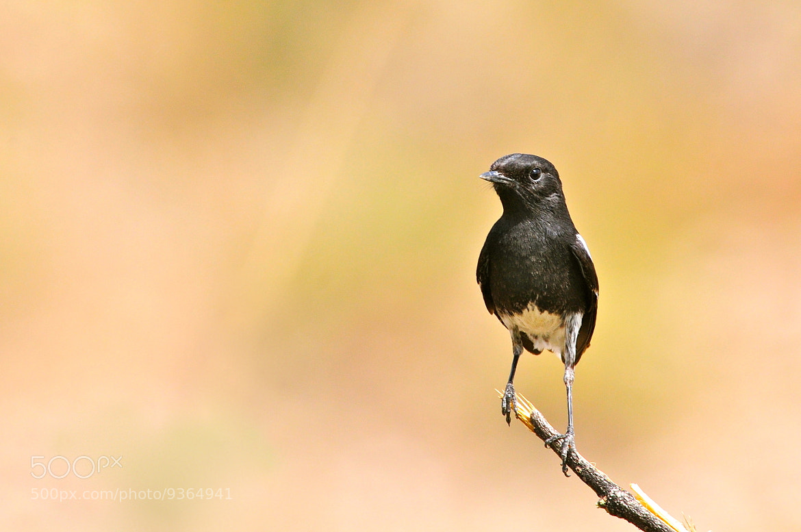 Photograph Pied Bush Chat by Hermes S on 500px