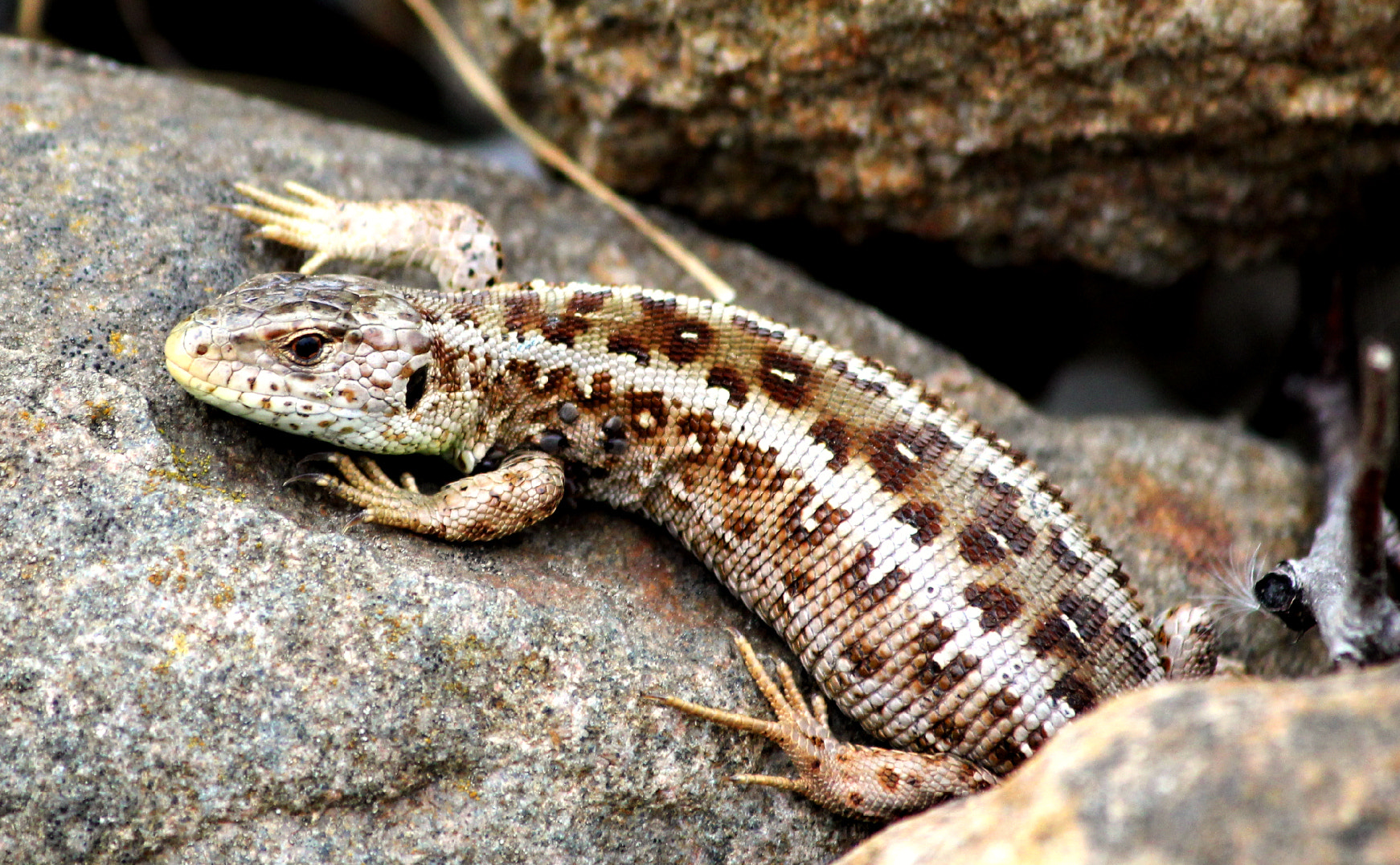 Photograph Lizard on a warm stone  by Tanja Nevermore on 500px