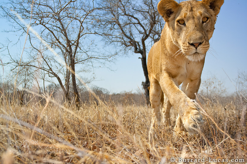 """We photographed this lioness in Tanzania. In order to get our camera close to the lions, we put it on top of a 4-wheel drive remote control buggy! Unfortunately, this encounter did not end too well for the camera. You can find out more about this project here: http://b-l.me/beetlecam  - More <a href=""""http://blog.burrard-lucas.com/2010/04/adventures-of-beetlecam/"""">BeetleCam photos</a>"""