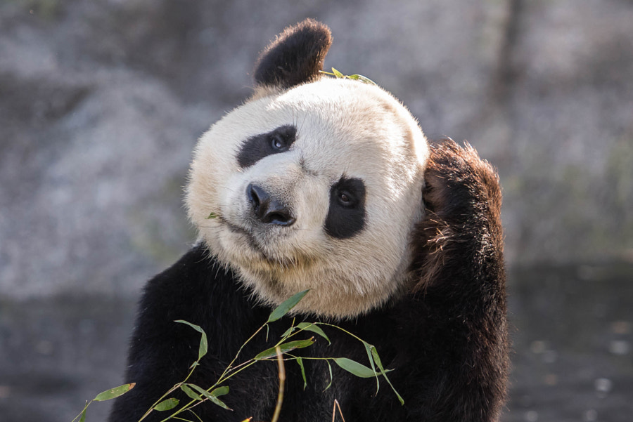 Photograph The Panda Ponders by Brian Jarman on 500px
