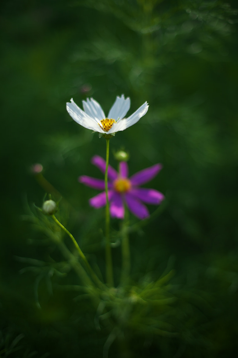 Photograph Cosmos in early summer by Duke Uehara on 500px