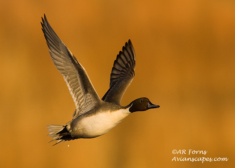 Photograph Pintail  by Alfred Forns on 500px