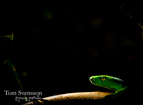 Photograph Green mamba by Tom Svensson on 500px