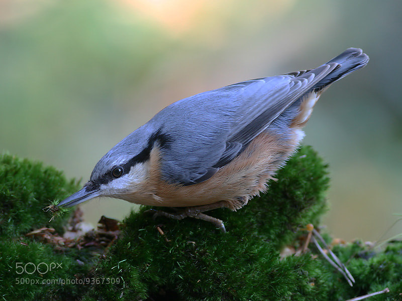 Photograph Nuthatch by Aat Bender on 500px