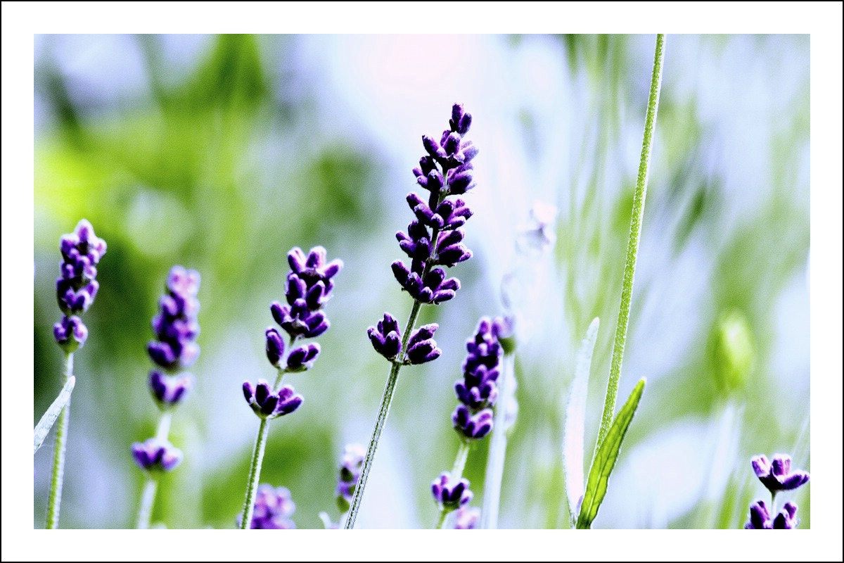 Photograph Lavender by Andreas D. on 500px