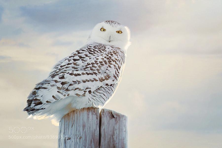 Photograph Snowy Owl 2 by Shauna Kenworthy on 500px