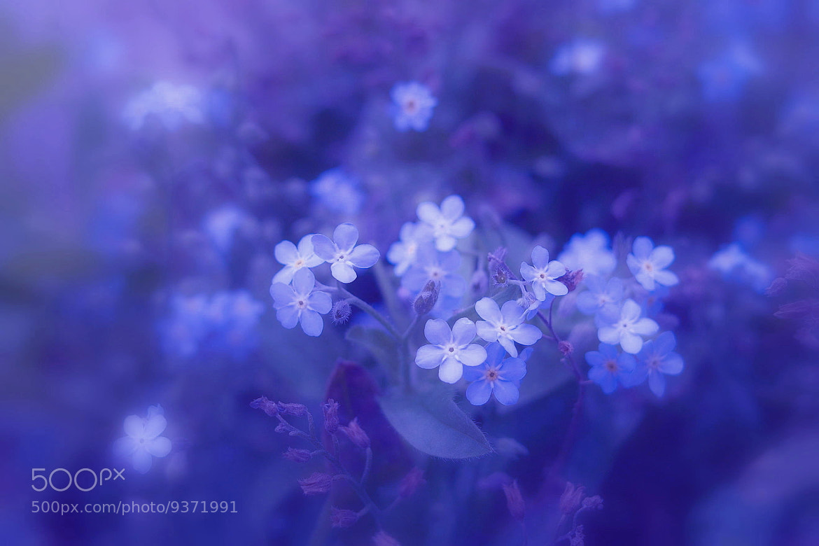 Photograph Memory of forget-me-not by Lafugue Logos   on 500px