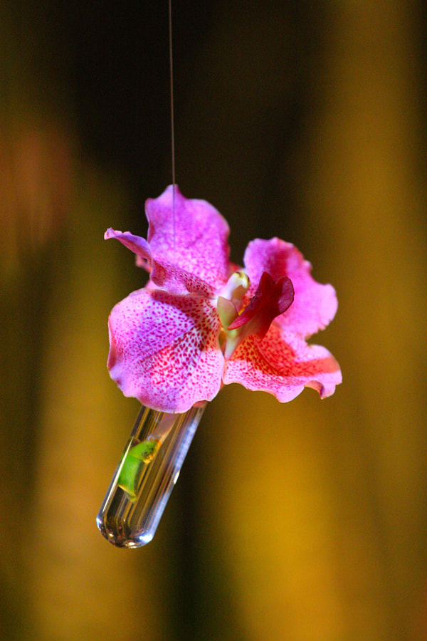 A Lone Hanging Orchid