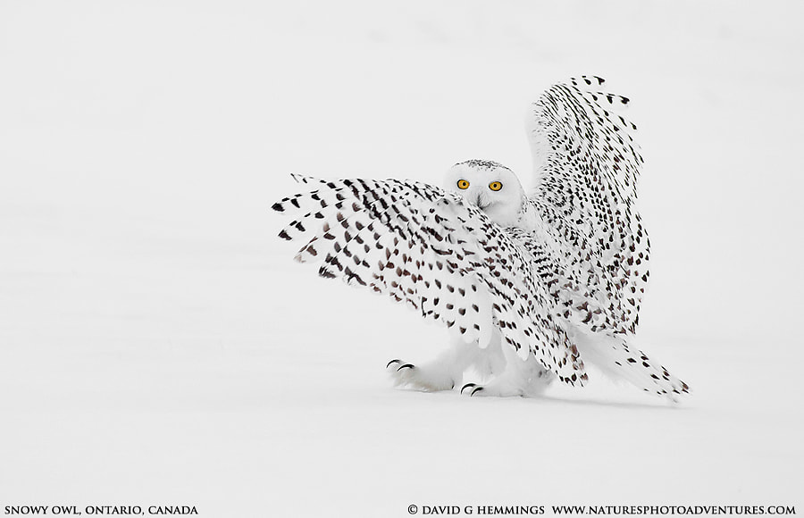 Snowy Owl by David Hemmings on 500px.com