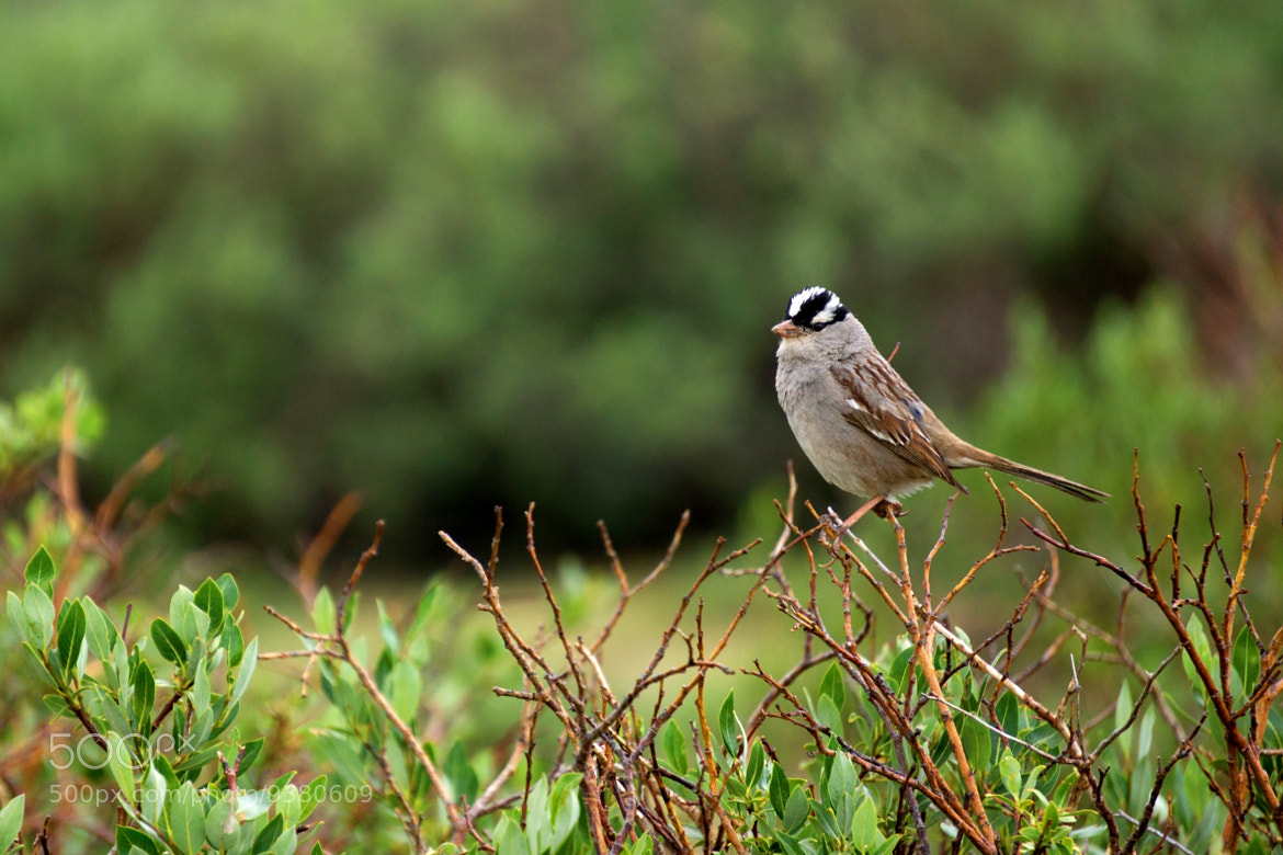 Photograph White-Crowned Sparrow by Craig Eckerle on 500px