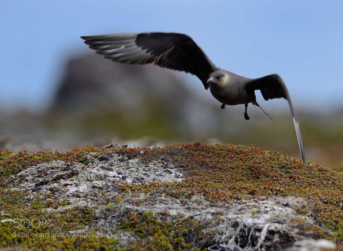 Photograph Arctic Skua by Ronnie Bergström on 500px