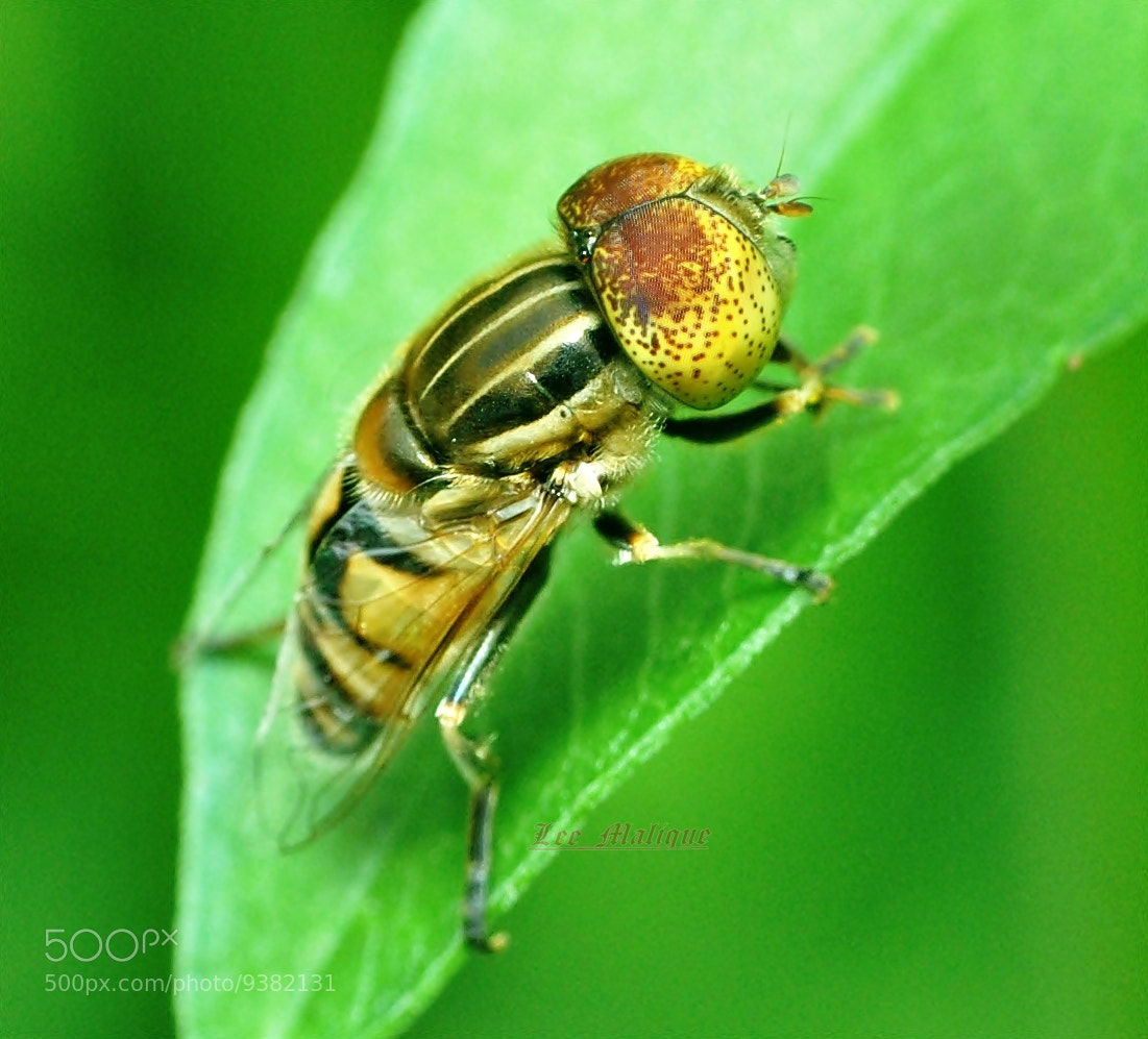 Photograph hooverfly by Mohd Azli Abdul Malek on 500px