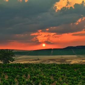 Vineyard sun rise