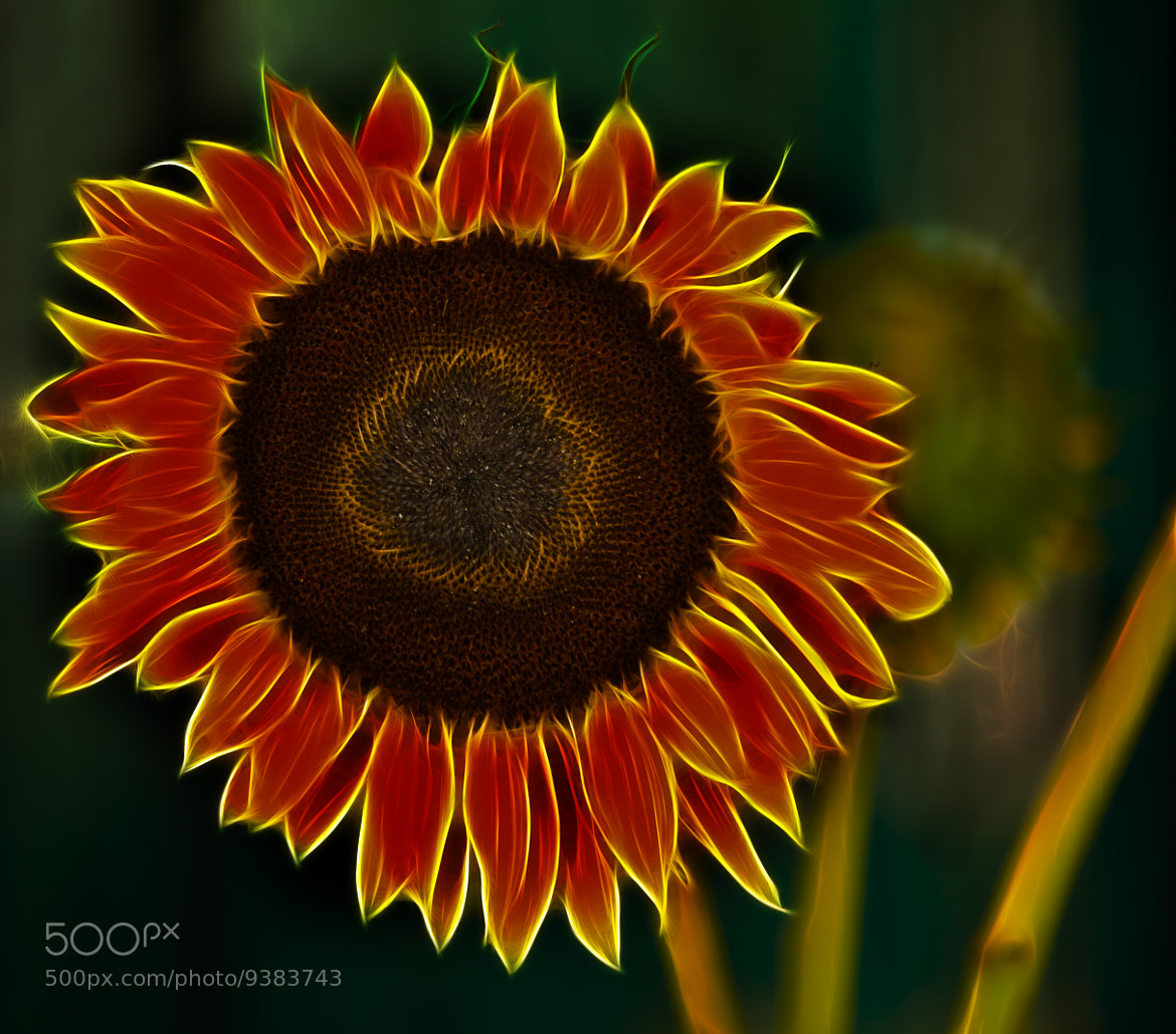 Photograph Sunflower on Fire by Patty Barker on 500px