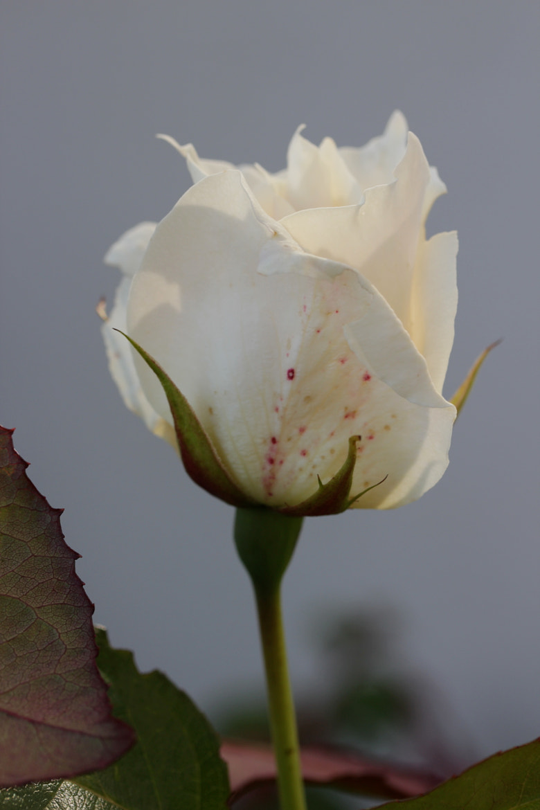 Photograph White rose bud by Jean Allenet on 500px