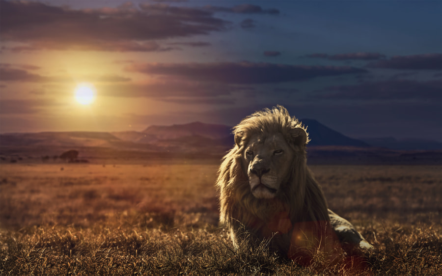 The Golden King of the Savannah by Jackson Carvalho on 500px.com