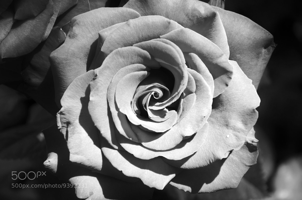Photograph ROSE by Lucy_ in_the_sky on 500px