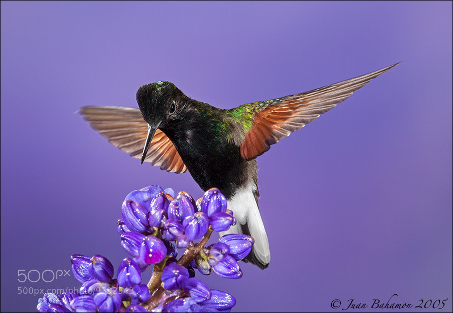 Photograph Black-bellied Hummingbird by Juan Bahamon on 500px