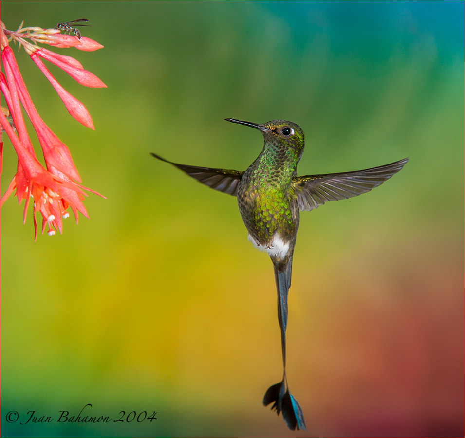 Photograph Booted Racket-tail  by Juan Bahamon on 500px