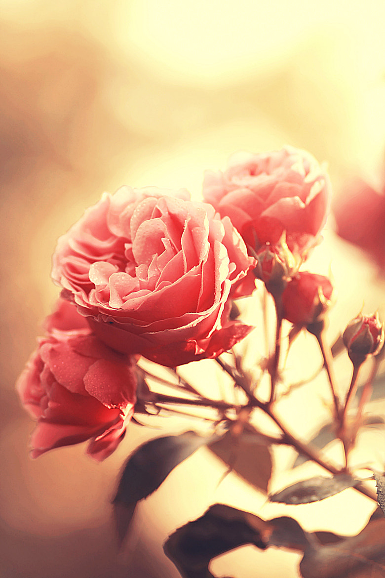 Photograph The allure of roses by Laura Meggers on 500px