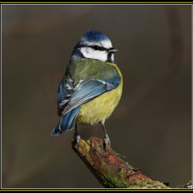 Blue Tit by Joanne Young (Miggy100)) on 500px.com