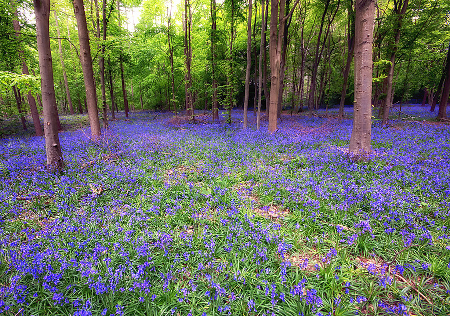 Bluebells (Whippendell Woods) by Simon Davis on 500px.com