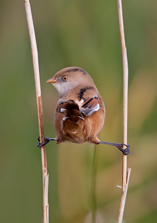 Photograph Bearded Tit by Lea Roberts on 500px