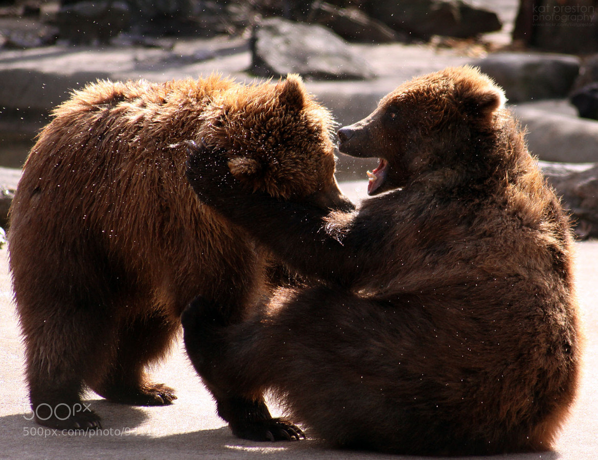 Photograph Brown Bears by Kat Preston on 500px