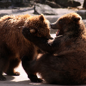 Brown Bears by Kat Preston (KatPreston)) on 500px.com