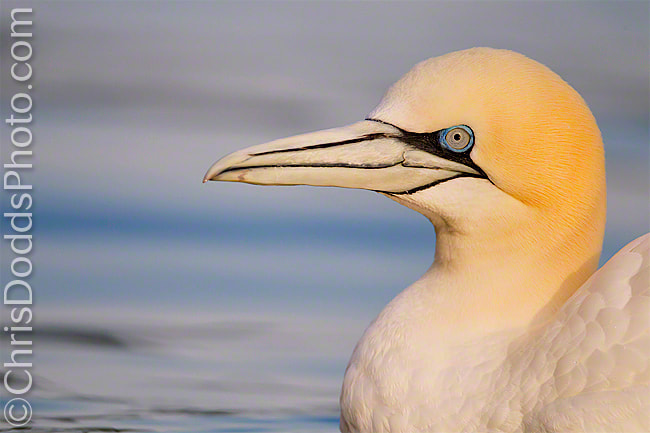 Photograph Northern Gannet Portrait by Christopher Dodds on 500px