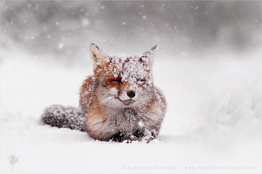 Photograph Red Fox turning White; Wishing You a Beautiful 2015! by Roeselien Raimond on 500px