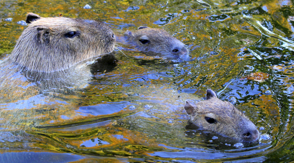 Photograph Swimming capybaras by Rainer Leiss on 500px